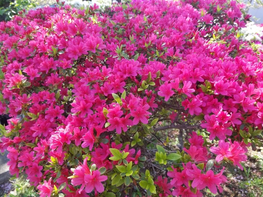 ♪2021年春★お花見模様(鎌倉~逗子~葉山)_d0162225_21231925.jpg