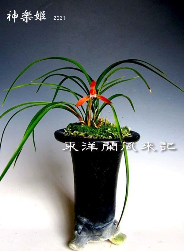 日本春蘭「神楽姫」          No.2091_d0103457_09513828.jpg