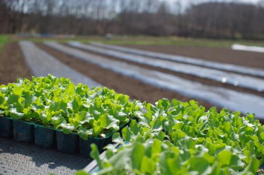 レタス苗を植え始めました_c0110869_12225032.jpg