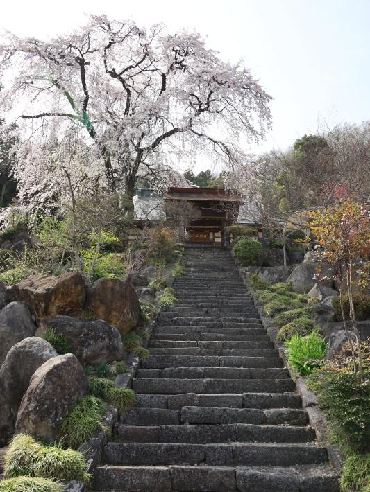 桜だより(20) ~渋川市 泰叟寺の桜~ (2021/4/1撮影)_b0369971_12401328.jpg