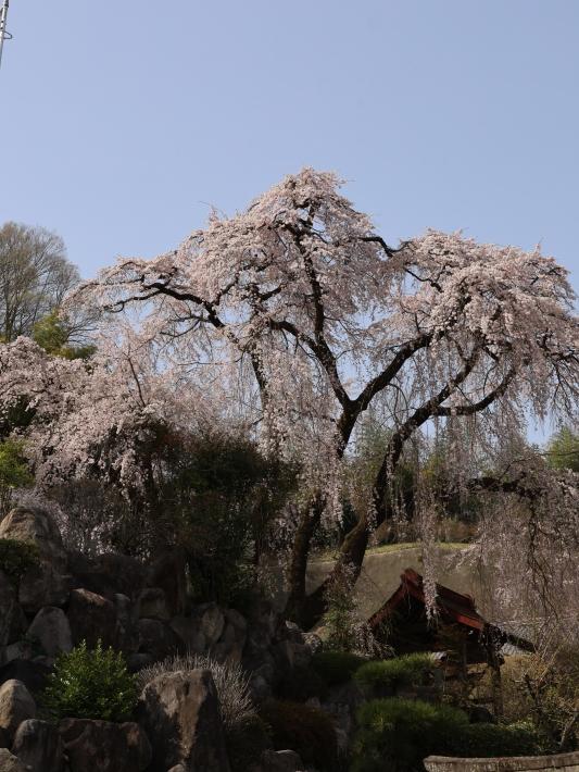 桜だより(20) ~渋川市 泰叟寺の桜~ (2021/4/1撮影)_b0369971_12421588.jpg