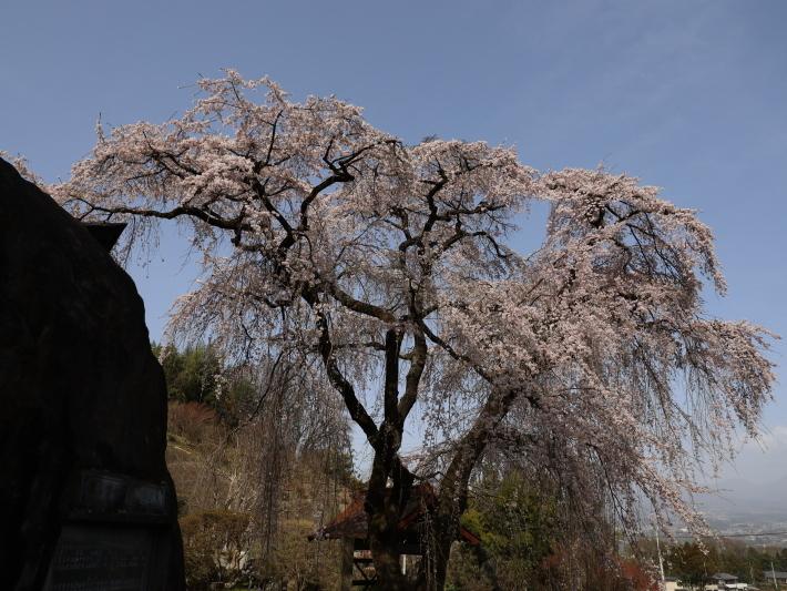 桜だより(20) ~渋川市 泰叟寺の桜~ (2021/4/1撮影)_b0369971_12425707.jpg