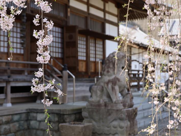 桜だより(20) ~渋川市 泰叟寺の桜~ (2021/4/1撮影)_b0369971_12430886.jpg