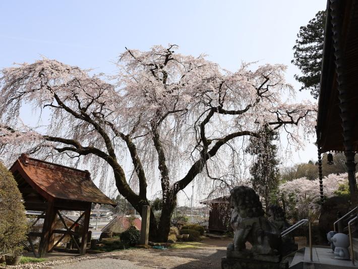 桜だより(20) ~渋川市 泰叟寺の桜~ (2021/4/1撮影)_b0369971_12432140.jpg