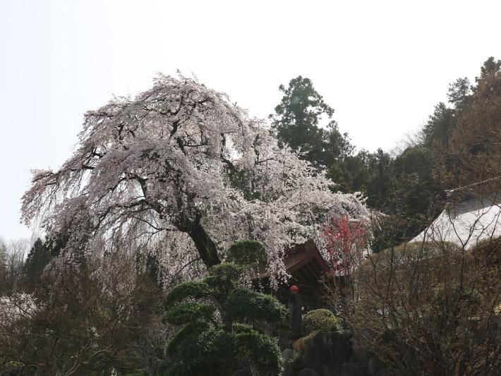 桜だより(20) ~渋川市 泰叟寺の桜~ (2021/4/1撮影)_b0369971_12443858.jpg