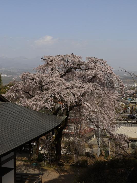 桜だより(20) ~渋川市 泰叟寺の桜~ (2021/4/1撮影)_b0369971_12470994.jpg