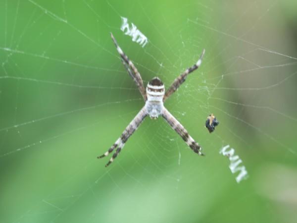 コガネグモの幼体が見つかりました!_d0121678_19082749.jpg