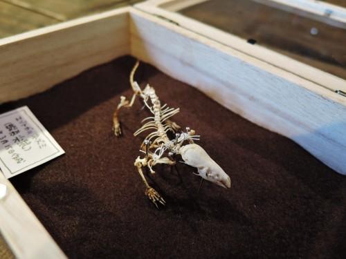 挑戦!トガリネズミ骨格標本・その4(閲覧注意)_d0154687_21132581.jpg