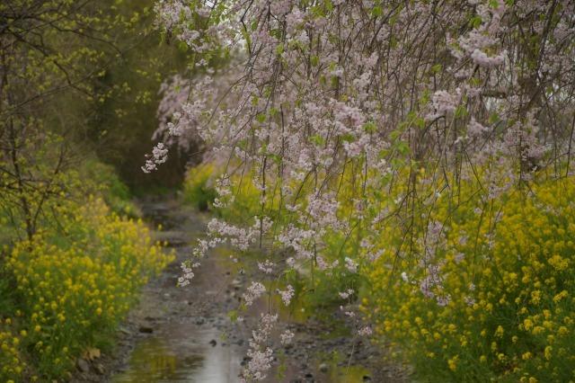 桜巡り2021 ~ 名残りの枝垂れ桜と蒸気機関車_b0356401_21563623.jpg
