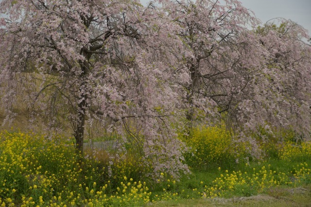 桜巡り2021 ~ 名残りの枝垂れ桜と蒸気機関車_b0356401_21564112.jpg