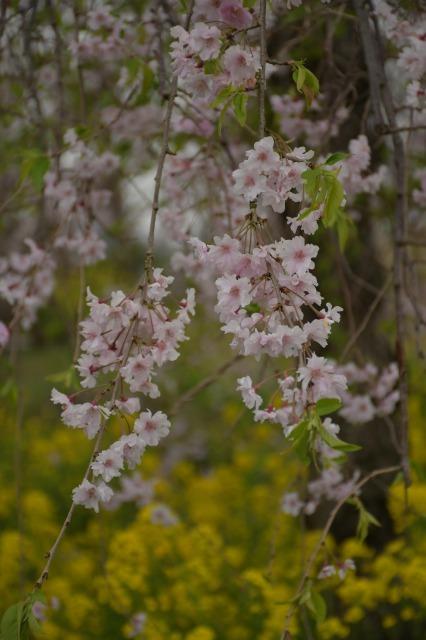 桜巡り2021 ~ 名残りの枝垂れ桜と蒸気機関車_b0356401_21564526.jpg