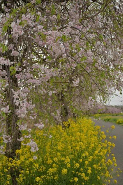 桜巡り2021 ~ 名残りの枝垂れ桜と蒸気機関車_b0356401_21564966.jpg