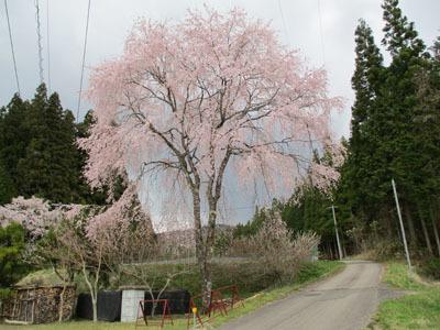 野入も今、桜が満開_c0194003_09120692.jpg