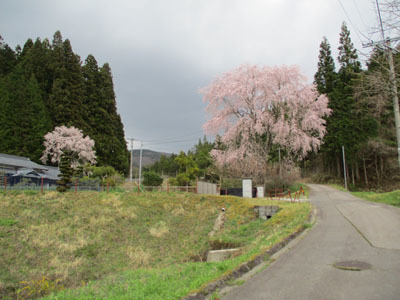 野入も今、桜が満開_c0194003_09211644.jpg