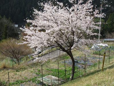 野入も今、桜が満開_c0194003_09212757.jpg