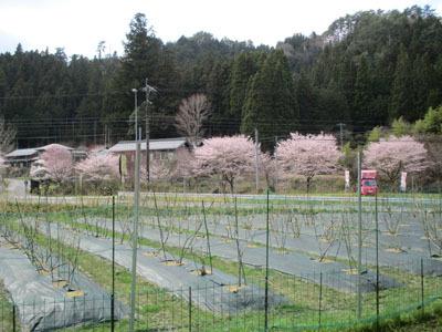 野入も今、桜が満開_c0194003_09213691.jpg