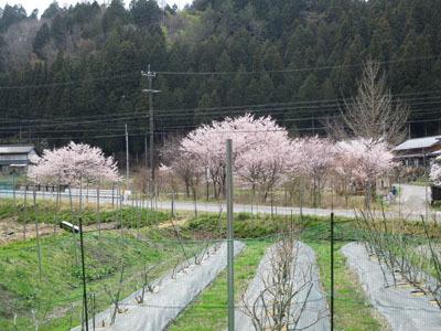野入も今、桜が満開_c0194003_09214635.jpg