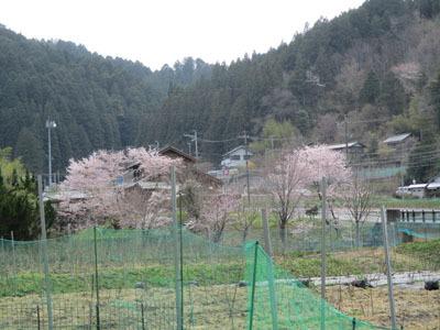 野入も今、桜が満開_c0194003_09220121.jpg