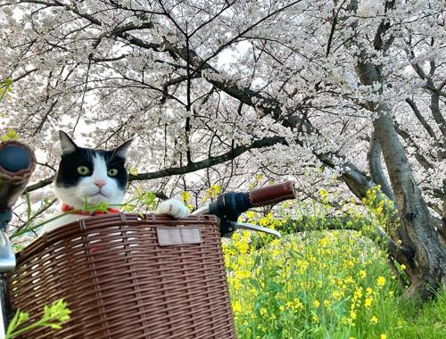 桜、さくら、サクラ。_d0077603_10054451.jpg