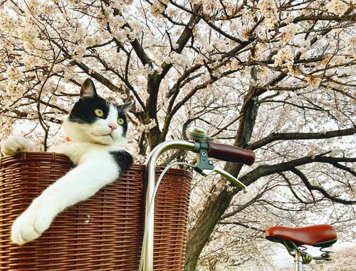 桜、さくら、サクラ。_d0077603_10055096.jpg