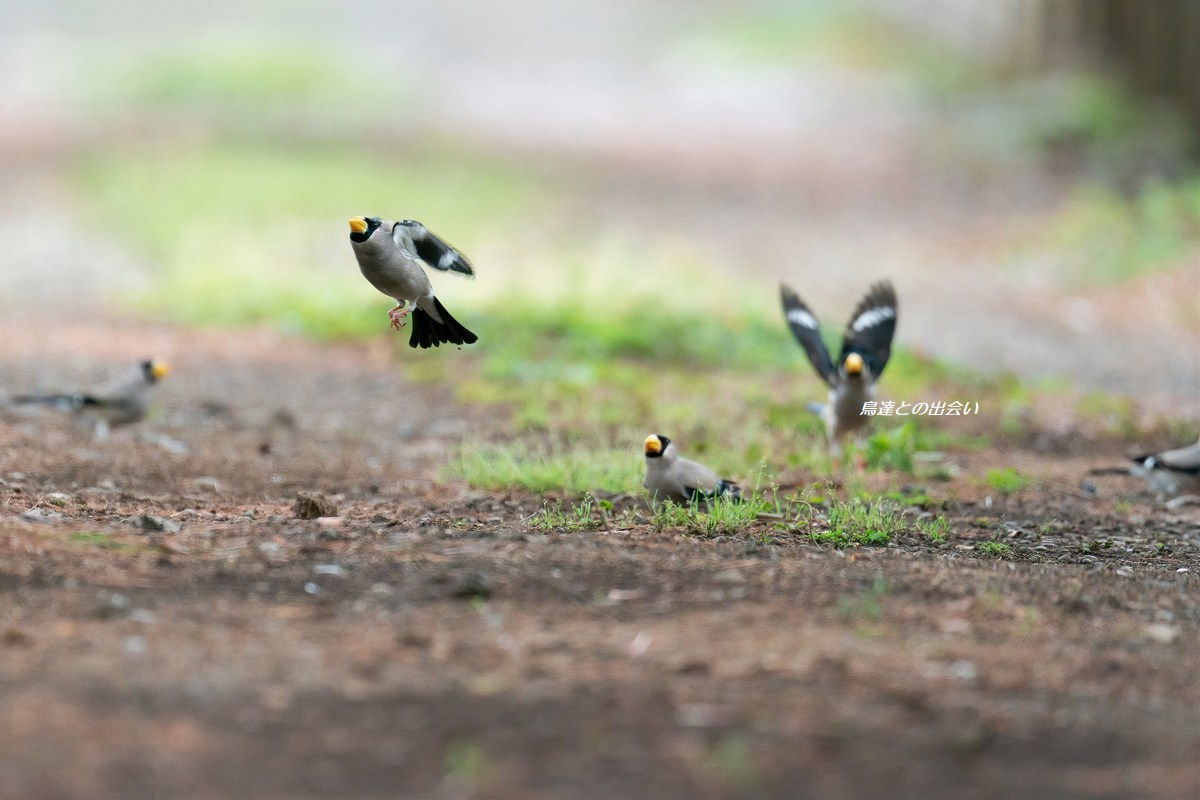 イカル・・・Japanese Grosbeak _e0139623_20241569.jpg
