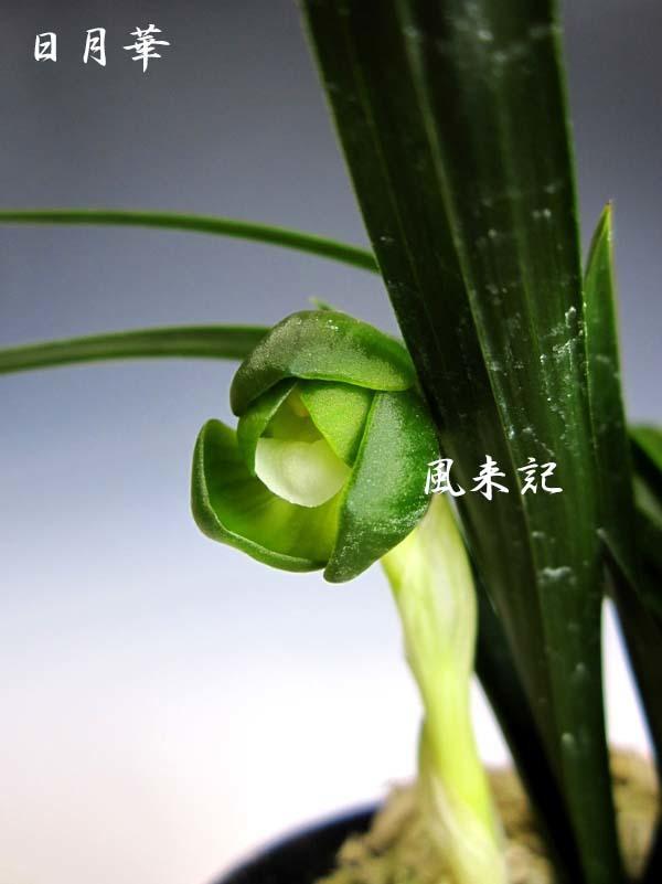 韓国春蘭素心「日月華」          No.571_f0178953_14272766.jpg