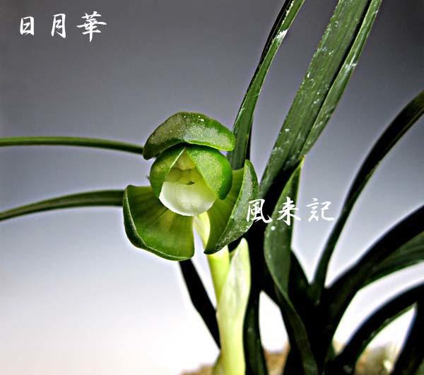 韓国春蘭素心「日月華」          No.571_f0178953_14274718.jpg