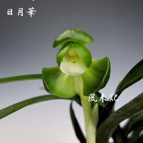 韓国春蘭素心「日月華」          No.571_f0178953_14275425.jpg
