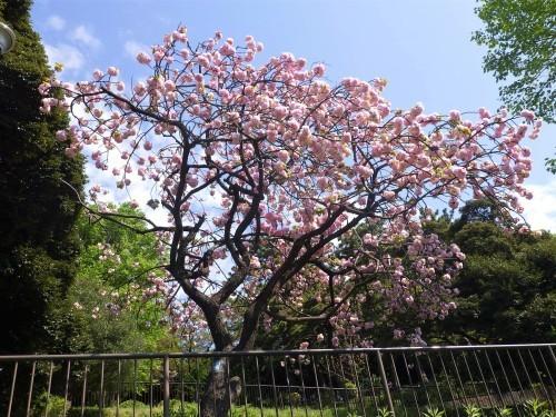"""""""八重桜""""早すぎます😢_d0173961_14064255.jpg"""