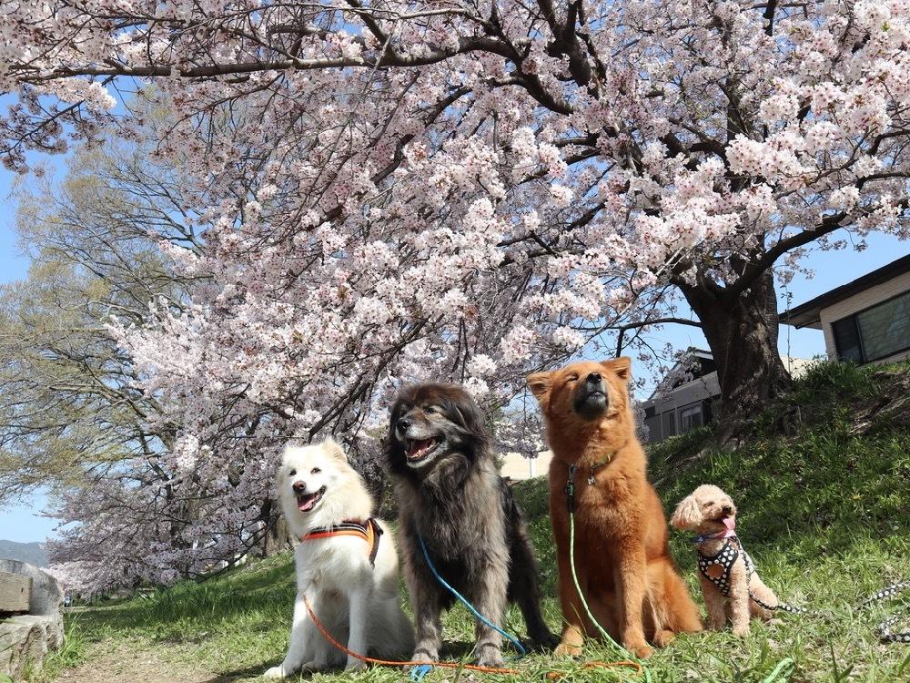 2021年・桜 <鴨川2>_a0119263_17040598.jpg
