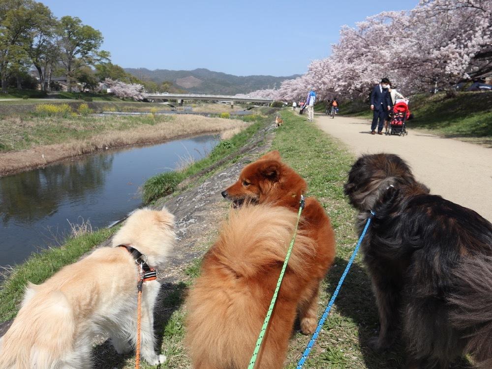 2021年・桜 <鴨川2>_a0119263_17040638.jpg