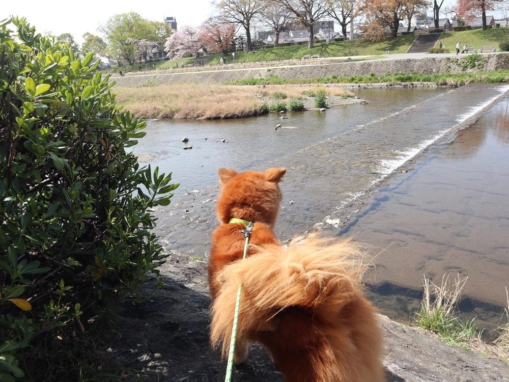 2021年・桜 <鴨川2>_a0119263_17040645.jpg