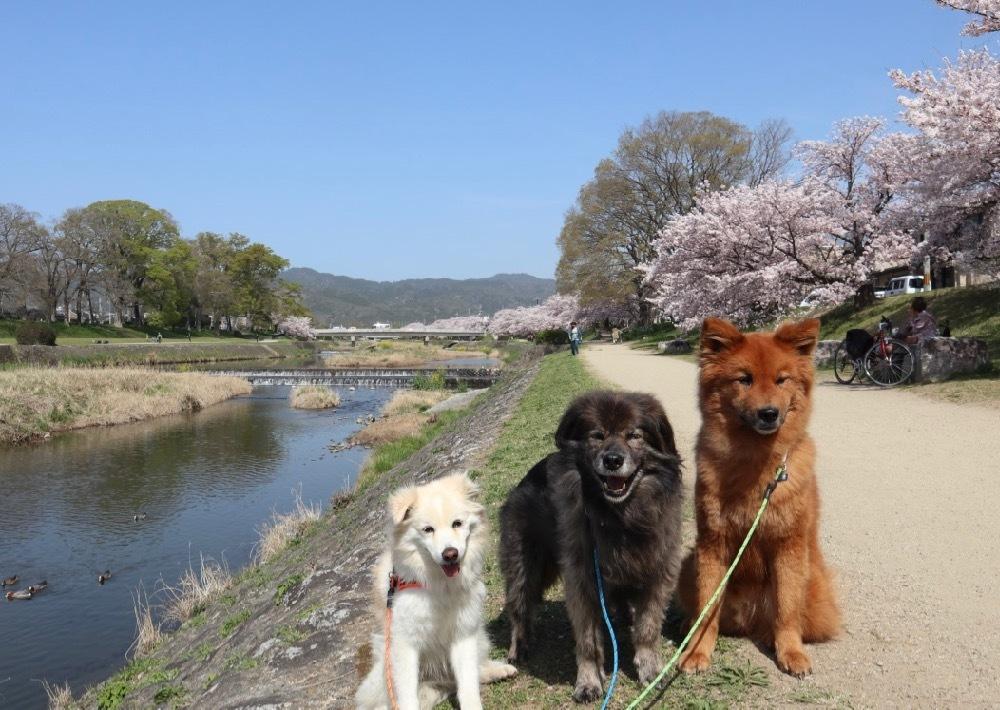 2021年・桜 <鴨川2>_a0119263_17040656.jpg
