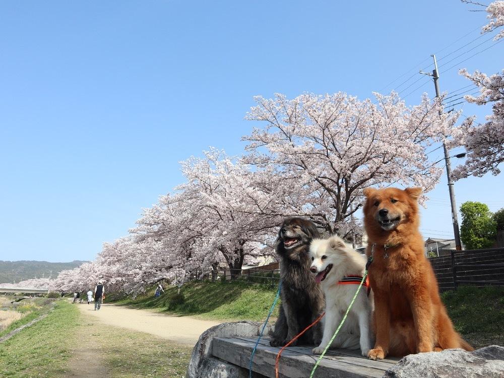 2021年・桜 <鴨川2>_a0119263_17040683.jpg