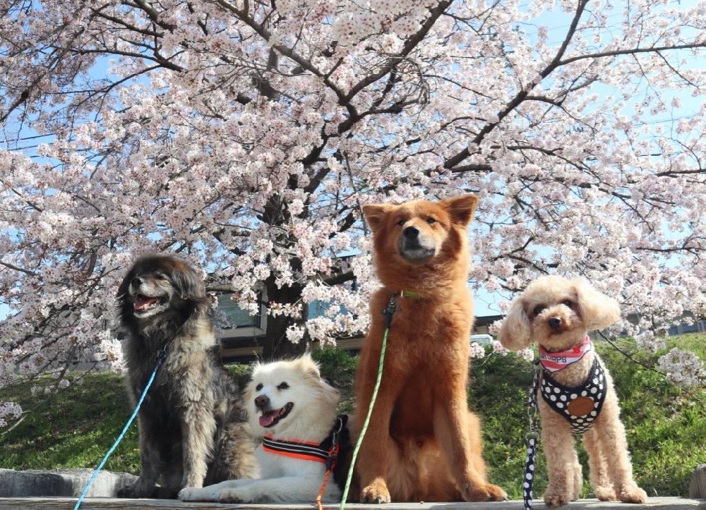 2021年・桜 <鴨川2>_a0119263_17040754.jpg