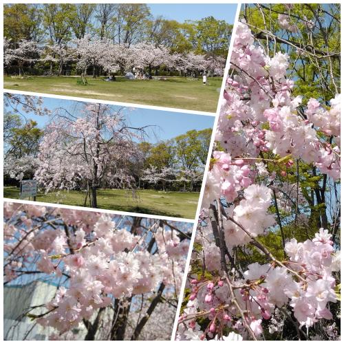 花見@枚方市から京都府八幡市へ_f0395164_21575946.jpg