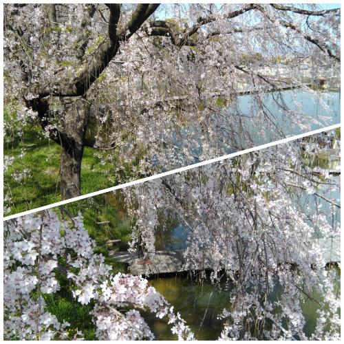 花見@枚方市から京都府八幡市へ_f0395164_22275368.jpg