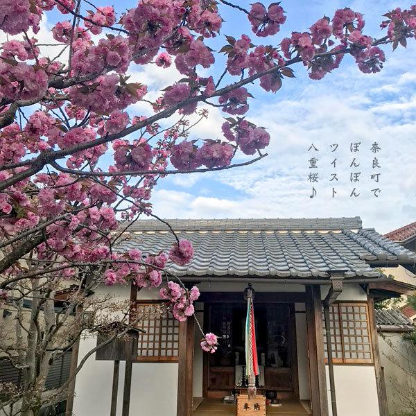 八重桜_a0197968_11161249.jpg