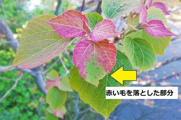 アカメガシワの赤い葉の正体_d0121678_18353552.jpg