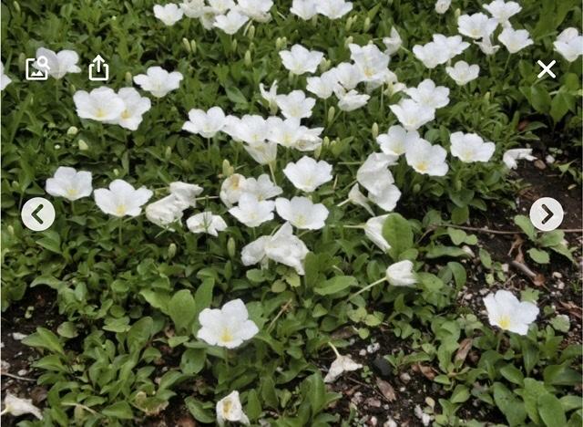 続・この花の名前は??銀杯草でした。_e0397389_15173276.jpeg