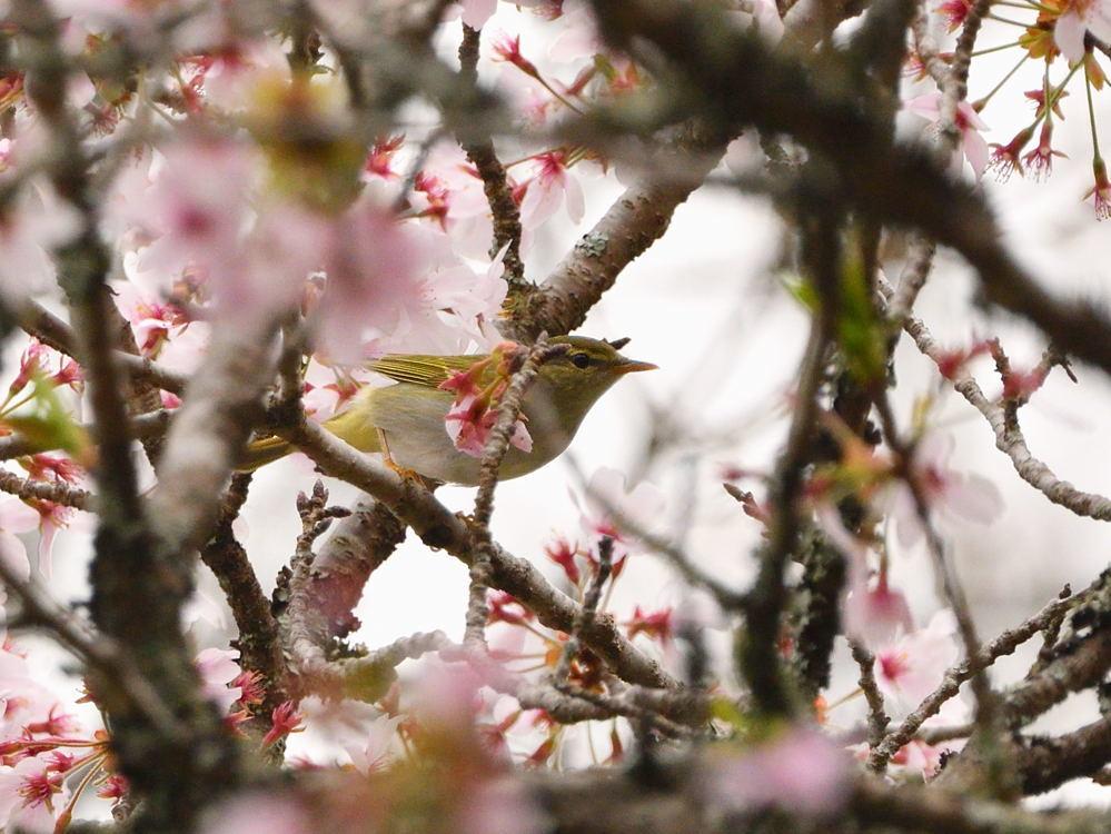 2021 03 30 お花見ついでの探鳥は坊主と思いきやかろうじて・・・。_a0143491_21174621.jpg