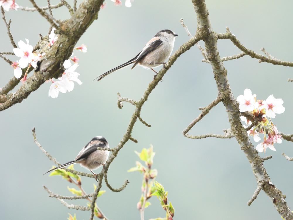 2021 03 30 お花見ついでの探鳥は坊主と思いきやかろうじて・・・。_a0143491_21181020.jpg