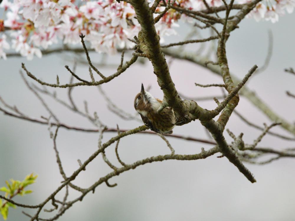 2021 03 30 お花見ついでの探鳥は坊主と思いきやかろうじて・・・。_a0143491_21183102.jpg