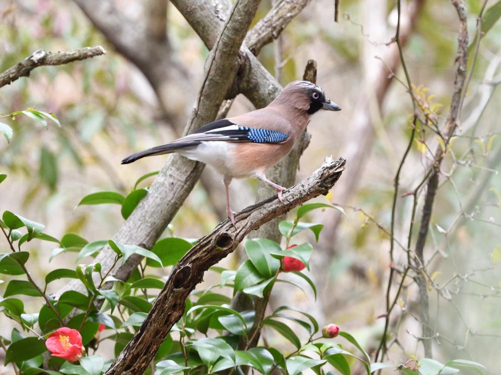 2021 03 30 お花見ついでの探鳥は坊主と思いきやかろうじて・・・。_a0143491_21190668.jpg