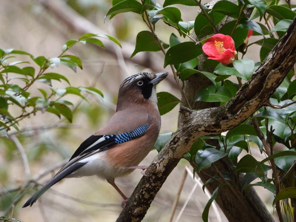2021 03 30 お花見ついでの探鳥は坊主と思いきやかろうじて・・・。_a0143491_21192856.jpg
