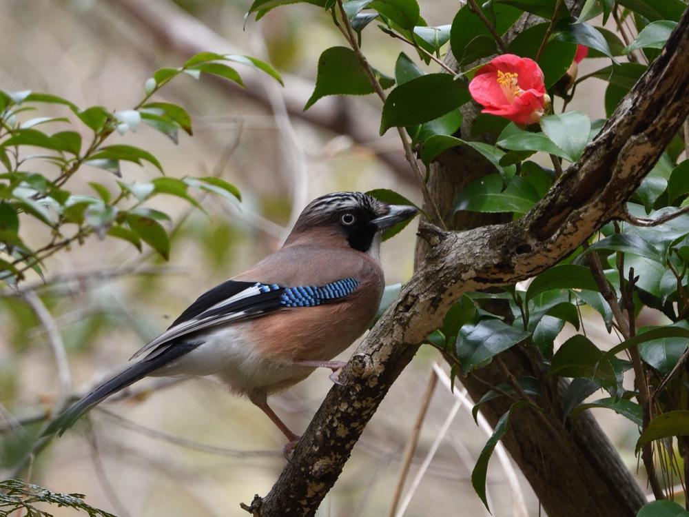 2021 03 30 お花見ついでの探鳥は坊主と思いきやかろうじて・・・。_a0143491_21194818.jpg