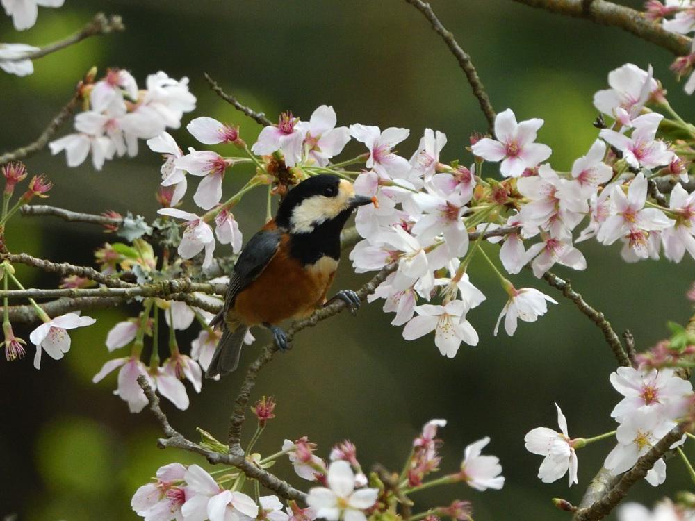 2021 03 30 お花見ついでの探鳥は坊主と思いきやかろうじて・・・。_a0143491_21200886.jpg