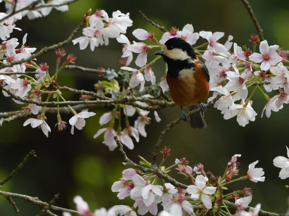 2021 03 30 お花見ついでの探鳥は坊主と思いきやかろうじて・・・。_a0143491_21201212.jpg