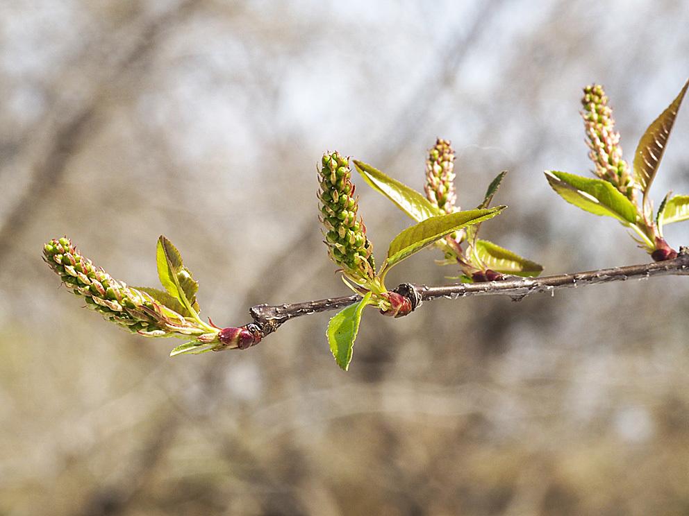 冬芽の展開(4) ウワミズザクラとイヌザクラ_d0163696_22170628.jpg