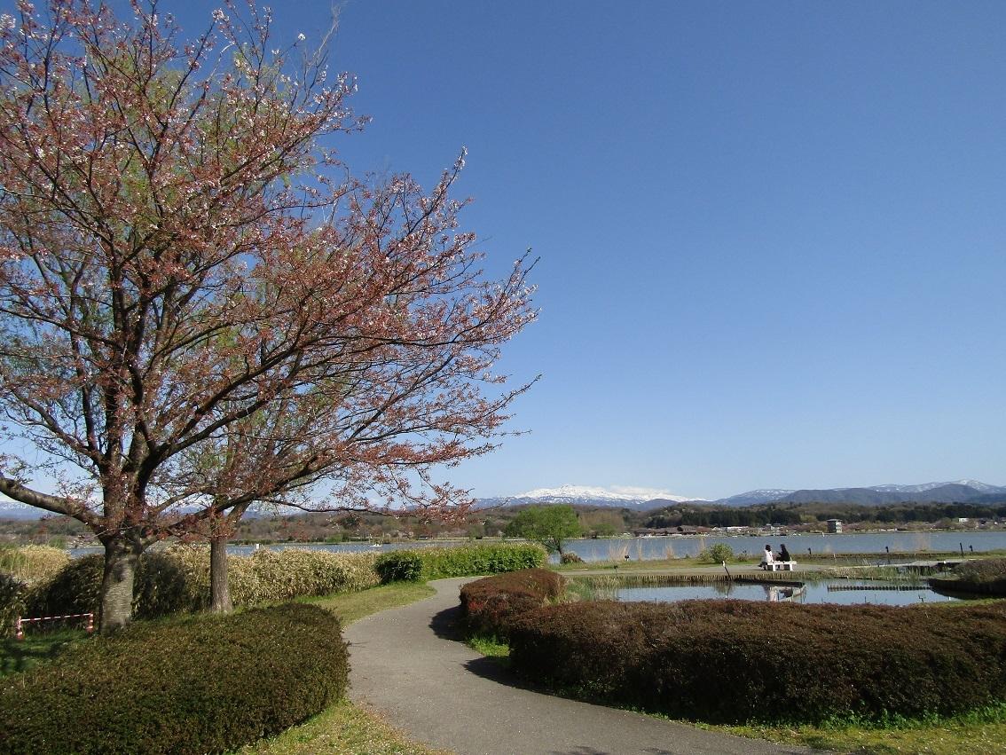 名残のさくら ~ 木場潟公園_f0281398_21425986.jpg
